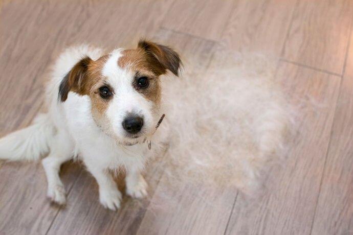 É verdade que o cachorro solta mais pelos em algumas fases da vida?